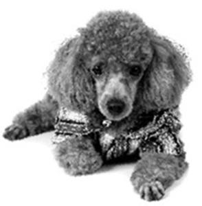 Claude_4_Little_poodle[1]