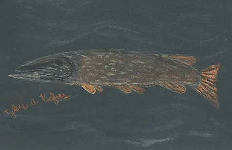 Northern Pike Drawing